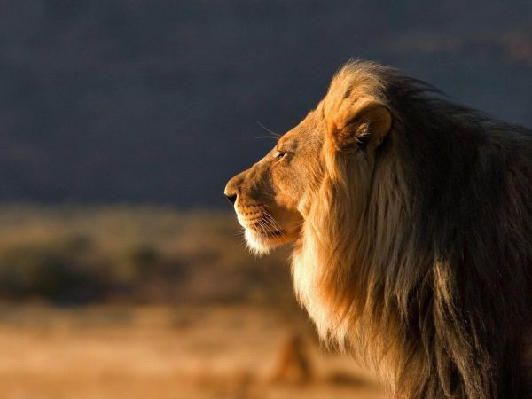Out-of-the-world-lions-13